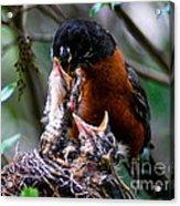 Robin Feeding Young 1 Acrylic Print by Terry Elniski