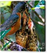 Robin Feeding Young 2 Acrylic Print by Terry Elniski