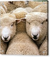 Romney Sheep Acrylic Print by Gregory G Dimijian and Photo Researchers