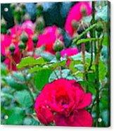 Rose 132 Acrylic Print by Pamela Cooper