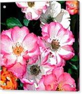 Rose 133 Acrylic Print by Pamela Cooper