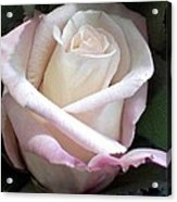 Rose Acrylic Print by Chris Anderson