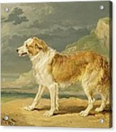 Rough-coated Collie Acrylic Print by James Ward