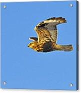 Rough-legged Hawk Acrylic Print by Tony Beck