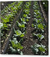 Rows Of Cabbage Acrylic Print by Anne Gilbert