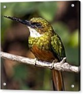 Rufous-tailed Jacamar Male Acrylic Print by Tony Camacho