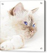 Sacred Cat Of Burma Acrylic Print by Melanie Viola