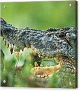 Saltwater Crocodile Crocodylus Porosus Acrylic Print by Cyril Ruoso