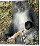 Samango Monkey Acrylic Print by Tony Camacho