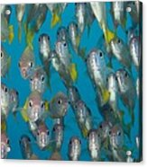 School Of Snappers Acrylic Print by Matthew Oldfield