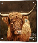 Scottish Moo Coo - Scottish Highland Cattle Acrylic Print by Christine Till