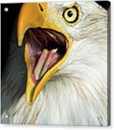 Screaming Eagle Portrait Acrylic Print by Artur Bogacki