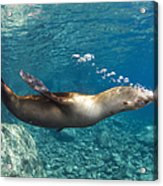 Sea Lion Blowing Bubbles, Los Islotes Acrylic Print by Todd Winner