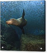Sea Lion Chasing A School Of Bait Fish Acrylic Print by Todd Winner