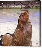 Sea Lion  On Genovesa Island Acrylic Print by Thomas R Fletcher