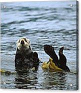 Sea Otter Enhydra Lutris Wrapped Acrylic Print by Konrad Wothe