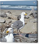 Seagull Bird Art Prints Coastal Beach Bandon Acrylic Print by Baslee Troutman
