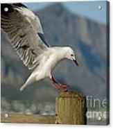 Seagull Landing On Pole Acrylic Print by Sami Sarkis