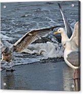 Seagull Treasures Acrylic Print by Debra  Miller