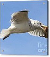 Seagull With Snail Acrylic Print by Carol Groenen