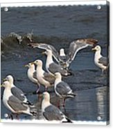 Seagulls Gathering Acrylic Print by Debra  Miller