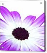 Senetti Magenta Bi-colour Acrylic Print by Richard Thomas