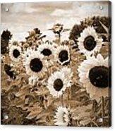 Sepia Sunflower Field Acrylic Print by Debbra Obertanec