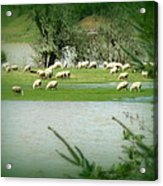 Sheep Grazing Amidst Flood Acrylic Print by Cindy Wright