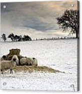 Sheep In Field Of Snow, Northumberland Acrylic Print by John Short