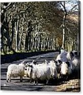 Sheep On The Road, Torr Head, Co Acrylic Print by The Irish Image Collection