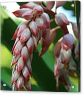 Shell Ginger Alpinia Zerumbet Tropical Flowers Of Hawaii Acrylic Print by Sharon Mau