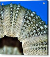 Shell With Pimples 2 Acrylic Print by Kaye Menner