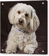Shih Tzu-poodle On A Brown Muslin Acrylic Print by Corey Hochachka