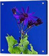 Shooting Stars Acrylic Print by Pepper Link