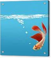 Siamese Fighting Fish Betta Splendens Acrylic Print by Don Hammond