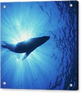 Silhouette Of A Sea Lion, La Paz Acrylic Print by Beverly Factor