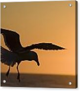 Silhouette Of A Seagull In Flight At Acrylic Print by Michael Interisano