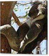 Sleeping Koala Acrylic Print by Bob Christopher