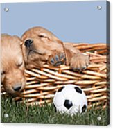 Sleeping Puppies In Basket And Toy Ball Acrylic Print by Cindy Singleton