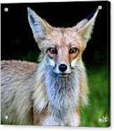Sly Acrylic Print by Sarah  Lalonde