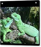 Small Iguanas Stirnlappenba Acrylic Print by Rolf Bach