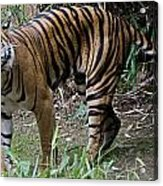 Snarling Tiger Acrylic Print by Brendan Reals