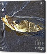 Snook Slider Acrylic Print by Alex Suescun