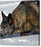 Snow Dog Acrylic Print by Karol Livote