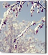 Snow On Spring Blossom Branches Acrylic Print by Bonita Cooke