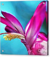Soft And Delicate Cactus Bloom 3 Acrylic Print by Kaye Menner