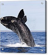 Southern Right Whale Acrylic Print by Francois Gohier and Photo Researchers