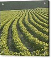 Soybean Crop Ready To Harvest Acrylic Print by Brian Gordon Green