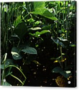 Soybean Leaves Acrylic Print by Photo Researchers