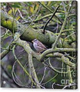 Sparrow Bird Perched . 40d12307 Acrylic Print by Wingsdomain Art and Photography